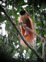 220px-Raggiana_Bird-of-Paradise_wild_5